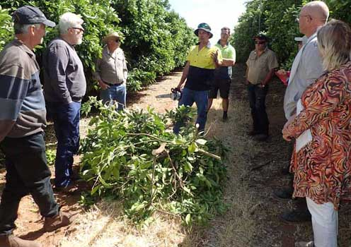 Daniel Lazar (Sunmar orchard manager) discussing pruning techniques with Sunraysia citrus growers.
