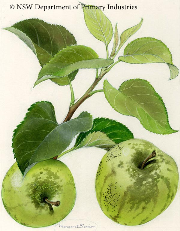 Illustration of Sooty blotch & fly speck of apple