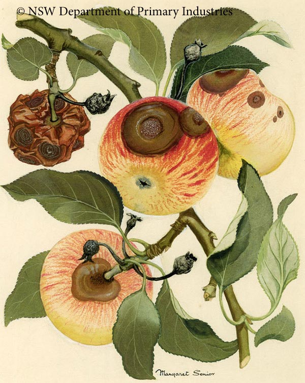 Illustration of Bitter rot of apple