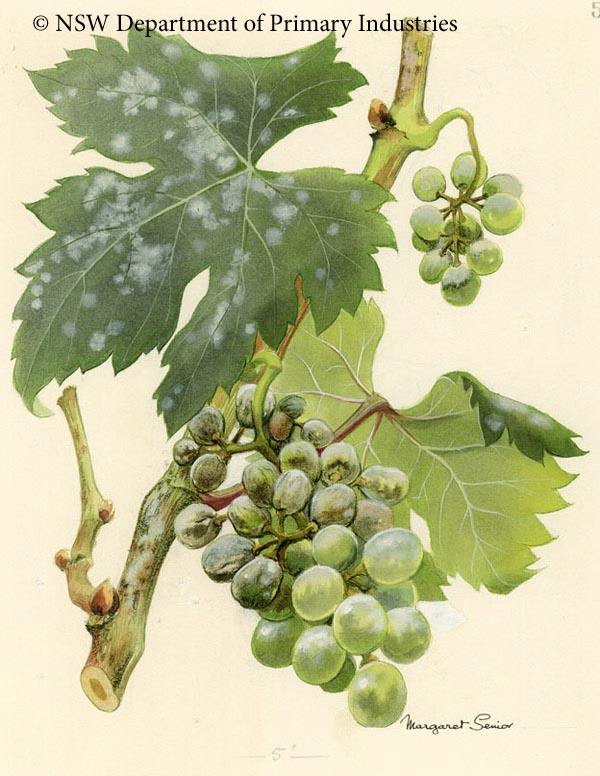 Illustration of Powdery mildew of grapevines