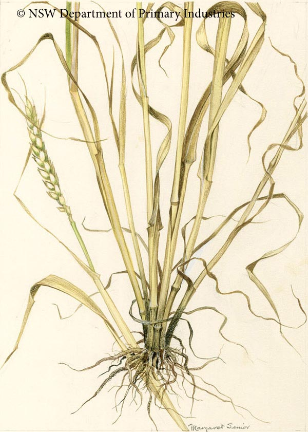 Illustration of Take-all of wheat