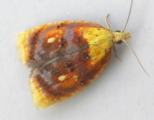 Blueberry leaftier moth with wings folded showing rust and yellow colouring