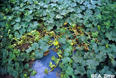 healthy patch of muskmelons with a section of wilted and yellowing leaves in the centre
