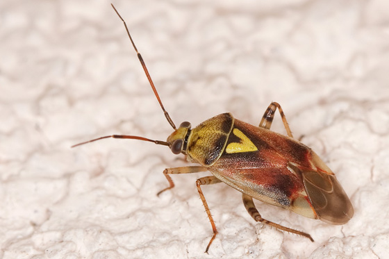Shield shaped insect, brown in colour with long thin antennae and a yellow triangular marking on the back.