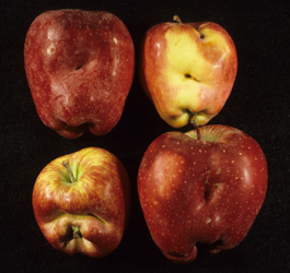 Four apples with deep dimples and creases in the surface where the fruit has grown and expanded around western plant bug feeding sites.