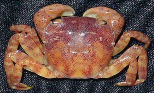 Asian-Shore-Crab