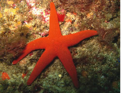 NTh-Pacific-Sea-Star-5